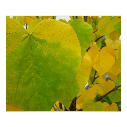 Yellow and Green Redbud Leaves Photography Print