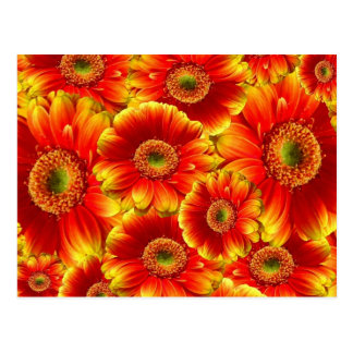 Yellow and Orange Gerbera Daisies Postcard