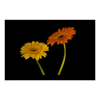 Yellow and Orange Gerbera Poster