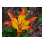 Yellow and Orange lily Poster