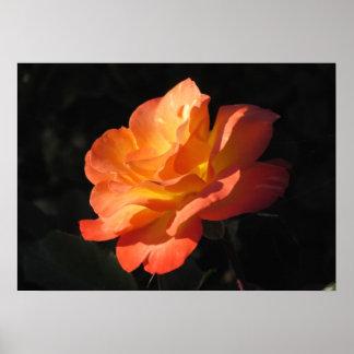 Yellow and Orange Rose Poster