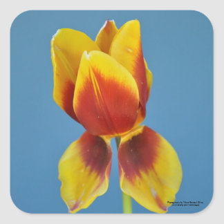 Yellow and Orange single tulip. Square Sticker