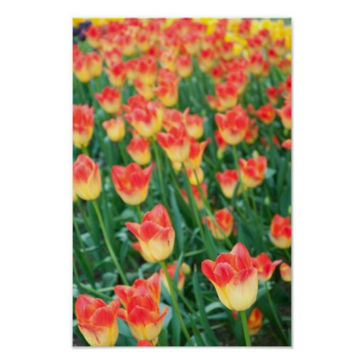 Yellow and orange tulips poster. poster