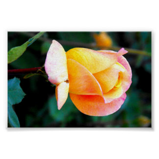Yellow and Peach Rose Posters