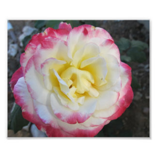 Yellow and Pink Peace Rose Photo Print