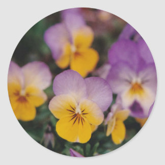 yellow and purple johnny jump-up flowers classic round sticker