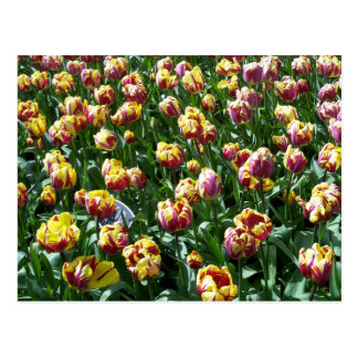 Yellow and Purple Tulips Postcard