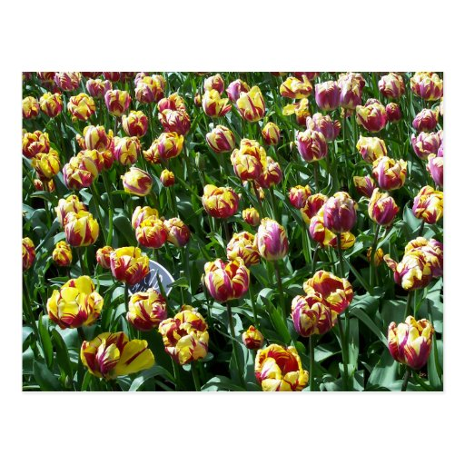 Yellow and Purple Tulips Postcard
