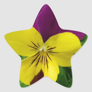Yellow and Purple Viola (pansy) Flower Star Sticker