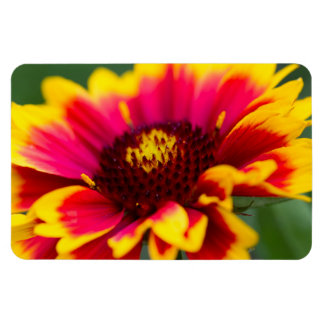Yellow and Red Common Blanketflower Magnet