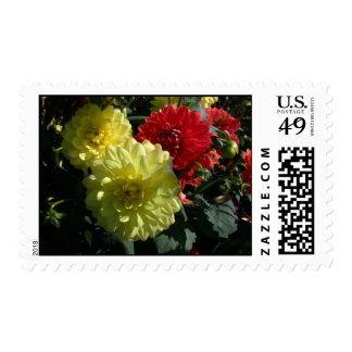 Yellow and red dahlias photo postage