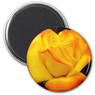 Yellow and Red Rose Bud Refrigerator Magnets