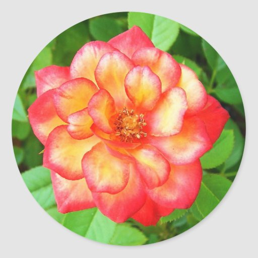 Yellow and Red Rose Classic Round Sticker