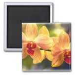 Yellow and Red Striped Phalaenopsis Orchids 2 Inch Square Magnet