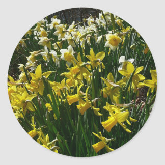 Yellow and White Daffodils Spring Flowers Classic Round Sticker