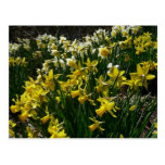 Yellow and White Daffodils Spring Flowers Postcard