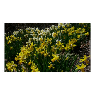 Yellow and White Daffodils Spring Flowers Poster