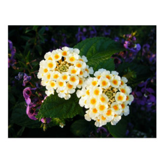 Yellow and White Lantana Postcard