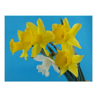 Yellow and White Narcissus Daffodils Poster