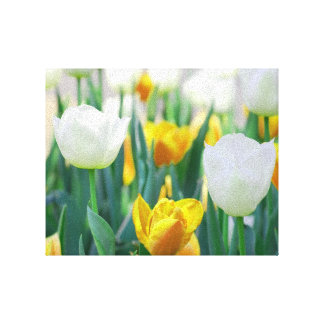Yellow and White Tulip Canvas Print