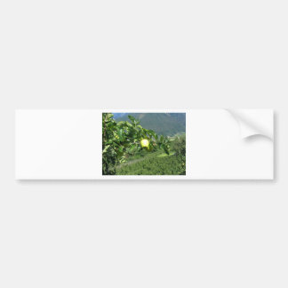 Yellow apples on tree branches bumper sticker