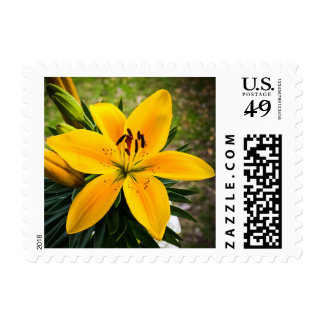 Yellow Asiatic Lily in Bloom Postage
