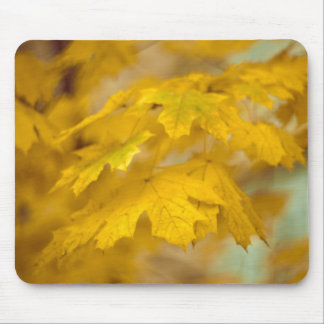 Yellow autumn maple leaves. mouse pad