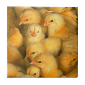 Yellow Baby Chicks Ceramic Tile