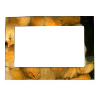 Yellow Baby Chicks Magnetic Photo Frame