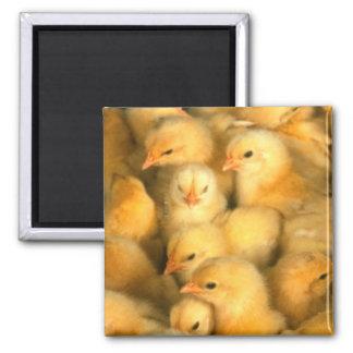 Yellow Baby Chicks Refrigerator Magnet