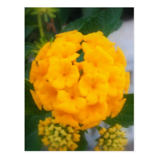 Yellow Ball of Flowers Postcard