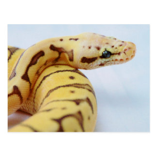 Yellow Ball Python Close Up Post Cards
