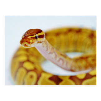 Yellow Ball Python Head Postcard