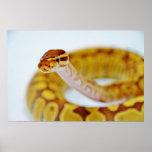 Yellow Ball Python Head Print