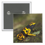 Yellow-banded Poison Dart Frog Dendrobates 2 Inch Square Button