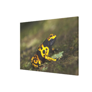 Yellow-banded Poison Dart Frog Dendrobates Canvas Print