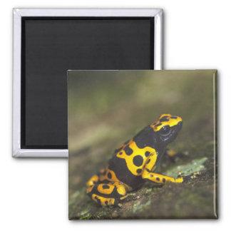 Yellow-banded Poison Dart Frog Dendrobates Magnet