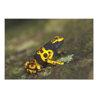 Yellow-banded Poison Dart Frog Dendrobates Photo Print