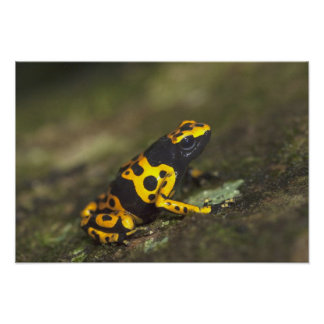 Yellow-banded Poison Dart Frog Dendrobates Poster