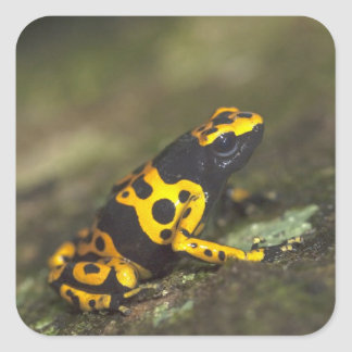 Yellow-banded Poison Dart Frog Dendrobates Square Sticker