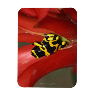 Yellow-banded poison frog magnet