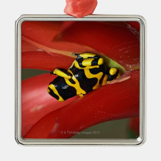 Yellow-banded poison frog metal ornament