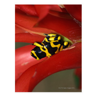 Yellow-banded poison frog postcard