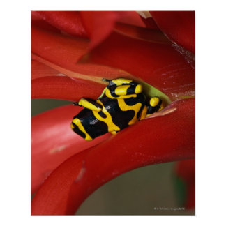 Yellow-banded poison frog poster