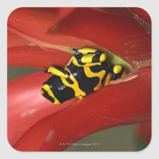 Yellow-banded poison frog square sticker