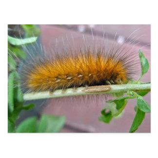 Yellow Bear Caterpillar Virginian Tiger Moth Items Postcard