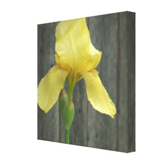 Yellow Bearded Iris and Old Wooden Fence Stretched Canvas Print