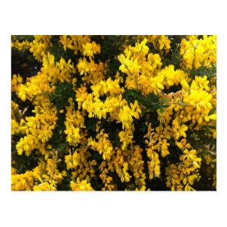 Yellow  Bell flowers -- Native Australian Postcard