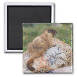 Yellow-bellied Marmot, Marmota flaviventris, Fridge Magnet