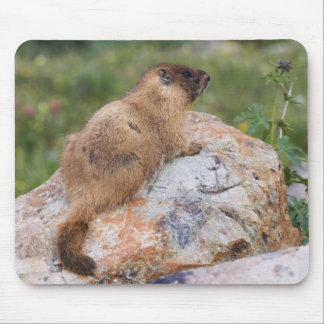 Yellow-bellied Marmot, Marmota flaviventris, Mouse Pad